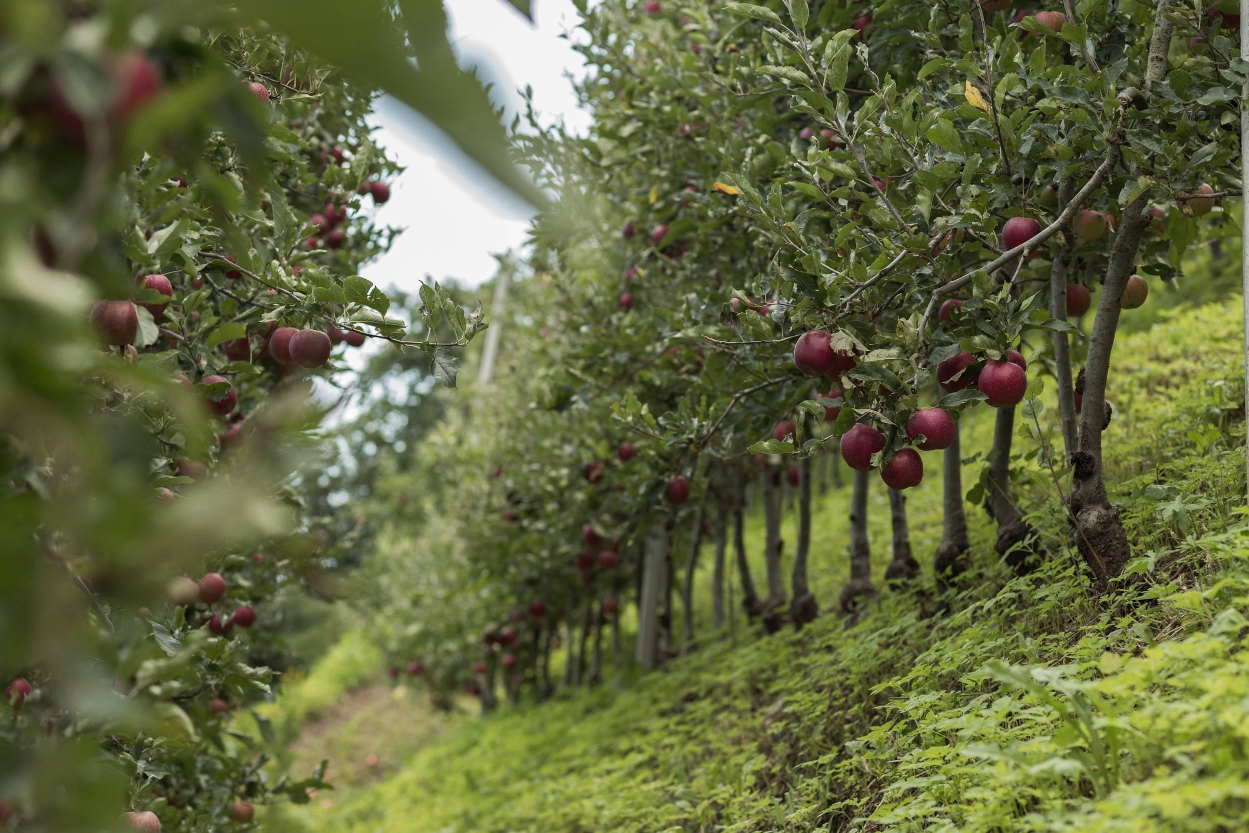 Organic Apple Varieties - Biosüdtirol